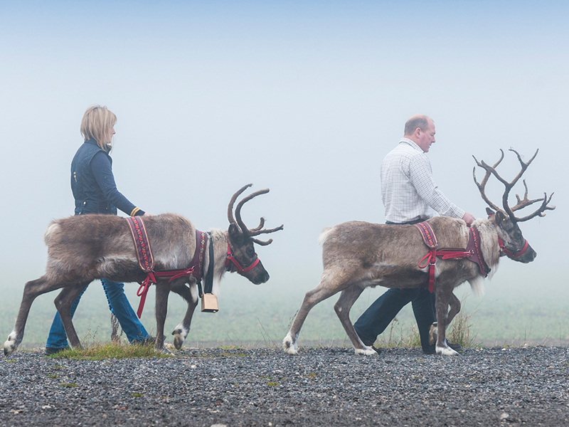 Park Lodge owners guiding reindeer across a field