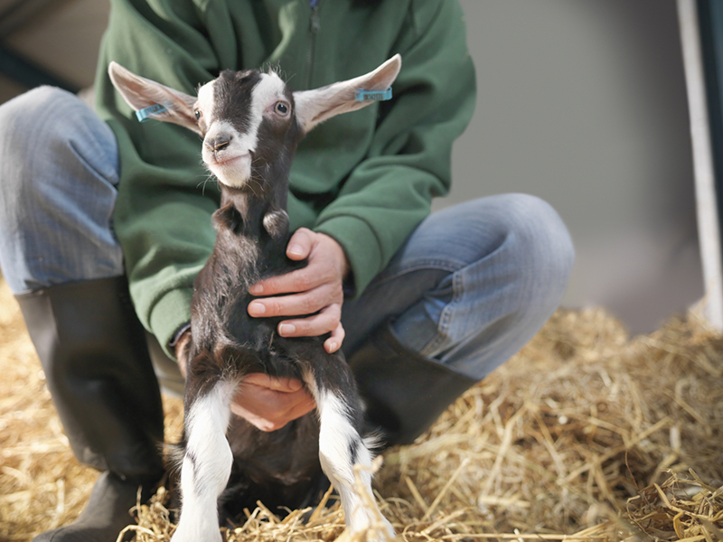 Goat being held by person